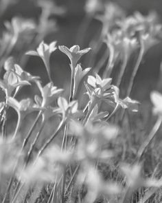 Rain Lilies 8x10 signed black and white photo Lily gray soft feminine decor floral flower spring field country nature