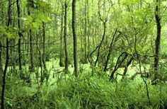 Wooded Swamp Wooded swamps are aptly named because they are dominated by woody plants such as shrubs and/or trees. The soil is saturated throughout the growing season. Some may become dry during the summer months. In Michigan, trees and shrubs found in wooded swamps include red and silver maple, cedar, balsam, willow, alder, black ash, elm and dogwood. They often occur along streams or on floodplains, in flat uplands or shallow lake basins.