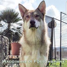 Waddiwasi di Fossombrone - 20 mesi - proprietà: Andrea Squillace #FOSteam #Saarloos #wolfdogs