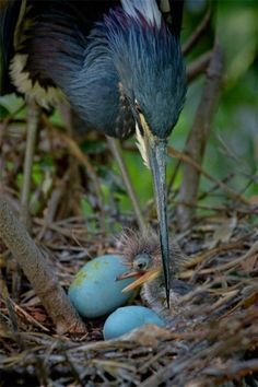 heron and chick -héron et poussin Kinds Of Birds, All Birds, Love Birds, Angry Birds, Pretty Birds, Beautiful Birds, Animals Beautiful, Beautiful Pictures, Animals And Pets