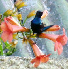 Friendly Neighbourhood Birders: Sun Birds : The shiny birds with the sword-like be...