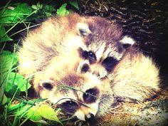 Baby racoon Baby Racoon, Animals, Animales, Baby Raccoon, Animaux, Animal, Animais, Dieren