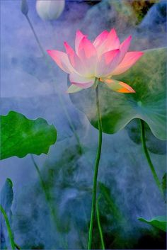Lotus. flowersgardenlove Tumblr
