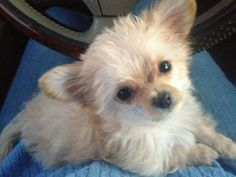 Chi-Poo (Chihuahua-Poodle mix) puppy