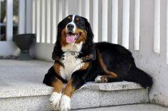 • Cleopatra - Bernese mountain dog