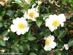 Camellia 'Setsugekka' - Google Search Landscape Architecture, Landscape Design, Backyard Plants, Plant Guide, Evergreen Shrubs, Yard Design, Camellia, Hedges, Green Leaves