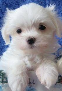 AKC Maltese Puppies...one of my moms puppies!!!