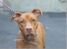 TO BE DESTROYED SATURDAY, 3/15/14  Manhattan Center -P   My name is SUGAR. My Animal ID # is A0993574.  I am a spayed female brown pit bull mix. The shelter thinks I am about 1 YEAR 5 MONTHS old.   I came in the shelter as a OWNER SUR on 03/10/2014