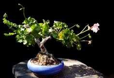 Bonsai Pelargonium