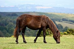 A stunning Dartmoor pony at Haytor, Dartmoor, Devon.