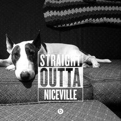 Here is hardcore! Straight out of #Niceville (Florida lol). #BullTerrier #BullTerror #EnglishBullTerrier #BullTerrierLove #BombBullie BombBullie.com