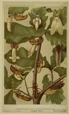 """heaveninawildflower: """" Transformation of cicada septendecim (1885). """"Report of the Entomologist Dept. Agriculture 1885."""" Image and text courtesy NYPL Digital Gallery. """""""