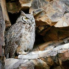 beautiful. .!! Credit :@nathanclarkphotos -  This drowsy Great Horned Owl roosted on a sheer rock wall during the day in Malheur NWR. I For info about promoting your owl art or crafts send me a direct message @owl.gifts or emailowl-gifts@outlook.com  . Follow @owl.gifts for beautiful and inspiring owl images and videos every day! .  #owl #owls