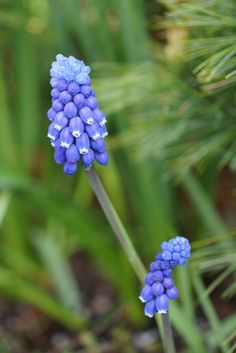 Muscari botryoides 'Superstar'  (Grape Hyacinth)
