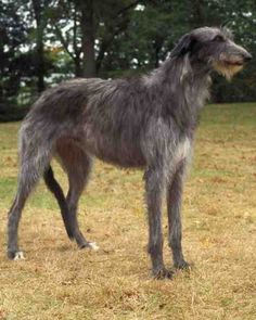Scottish Deerhound  While he possesses a quiet and dignified personality in the home, the Scottish deerhound may try to chase any furry animals that run past him. Although he enjoys his family, his size may be intimidating to smaller children. The AKC Hound Group also includes the whippet.