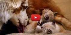 Un chien aide une chatte à donner naissance à ses petits