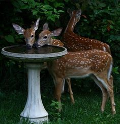 ⓕurry & ⓕeathery ⓕriends - photos of birds, pets & wild animals - fawns enjoying a little drink in the garden Animals And Pets, Baby Animals, Cute Animals, Wild Animals, Amazing Animals, Animals Beautiful, Bambi, Tier Fotos, All Gods Creatures