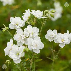 GERANIUM pratense 'Laura' - Storkenæb, farve: hvid/fyldt, lysforhold: sol/halvskygge, højde: 30 cm, blomstring: juli - august, god til bunddække.