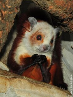 Red & White Giant Flying Squirrel - lots of species I've not seen before , pretty cool!