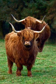 for my dream farm :D long haired long horns Scottish Highland Cow, Highland Cattle, Scottish Highlands, Bison, Farm Animals, Cute Animals, Fluffy Cows, Mini Cows, Longhorn Cattle