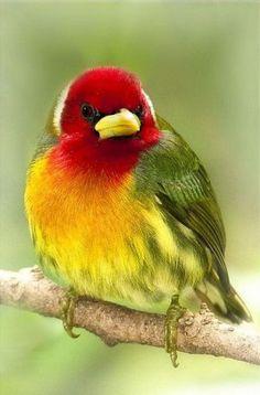 Rainbow Red-headed Barbet Bird