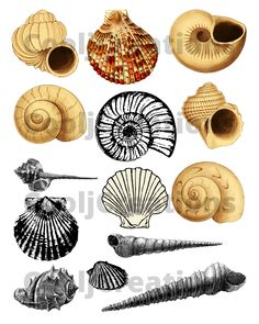 #seashellclipart, #seashellimages, #seashelldigitalimages, #seashellicons, #seashelldigitalicons, #seashellpictures, #seashelldigitalpictures, #seashellcollage, #seashelldigitalcollage, #scrapbookprojects, #craftprojects, #seashelllogos, #seashelldigitallogos