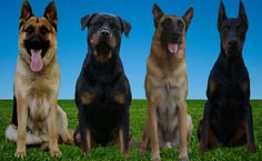 How to train a dog to be a guard dog is a good question to ask. Dogs are special animal that can be the part of our family. They are loyal, cute, and also cheerful.
