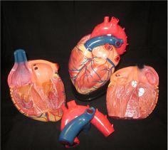 Jumbo Size 1st Quality Human Heart