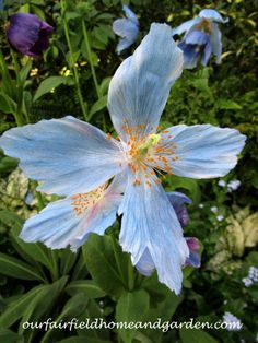 Himalayan Blue Poppi