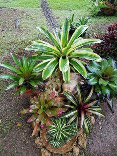 Succulent Display Ideas Backyards 29 New Ideas Tropical Landscaping, Landscaping Plants, Tropical Garden, Tropical Plants, Succulent Gardening, Succulents Garden, Container Gardening, Planting Flowers, Unique Plants