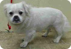 New York, NY - Pekingese Mix. Meet Rice! ***FOSTER NEEDED***, a dog for adoption. http://www.adoptapet.com/pet/11636017-new-york-new-york-pekingese-mix