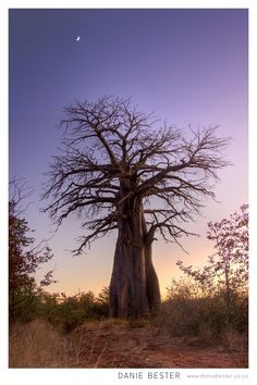 Baobab Tree African Lanscape Sunset Painting By Sunset