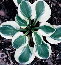 Hosta 'Frosted Mouse Ears' is a very popular, adorable little hosta. Highly recommend for its form, firm leaves, and bright presence.
