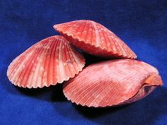 Red nobel pectin scallop seashells vary in shades of red.