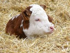 I love all calves but Herefords have to be the cutest ones!