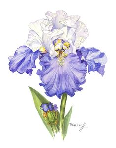 Blue and White Sultan Iris // Page Lee Hufty