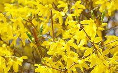 forsythia-shrub-yellow-flowers in March