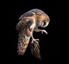 Barn Owl by fay