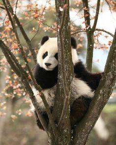 Flower princess  . . . . #bear #pandabear #panda #blackandwhite #cute #flowerprincess #bearsaresweet