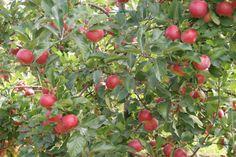 La pomme Ariane et sa belle robe de couleur rouge sera très bientôt récoltée...
