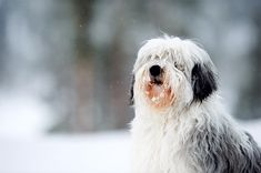 Polish Lowland Sheepdog information including pictures, training, behavior, and care of Polish Lowland Sheepdogs and dog breed mixes.