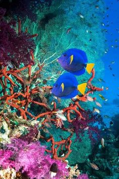 A palette of color - Coral reef scenery with yellowtail tangs - Red Sea. Underwater Art, Underwater Creatures, Ocean Creatures, Beneath The Sea, Under The Sea, Fauna Marina, Undersea World, Salt Water Fish, Marine Fish