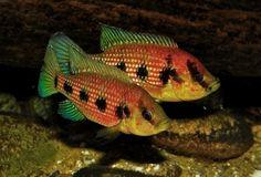 Tropical Aquarium, Tropical Fish, Fish Breeding, African Cichlids, Freshwater Aquarium, Great Lakes, West Africa, Aquarium Ideas, Fresh Water
