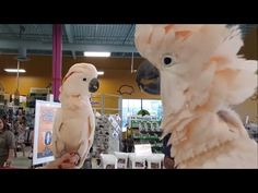 Cockatoos meet each other in pet store, hilarity ensues Funny Parrots, Funny Birds, Bird Cages, Creature Feature, Bird Toys, Funny Animal Videos, Animal Pics, Salmon Color, Cockatoo
