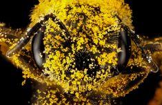 Euryglossidia - Insect.