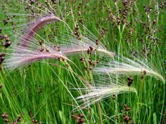 Hordeum jubatum ( Squirrel-tail or Foxtail Barley)