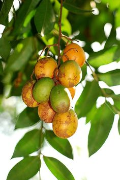 Natureza, Perfeição sem tamanho...: Cajá (Spondias mombin L.) O cajá é o fruto da caja...