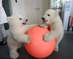polar bear cubs playing with a ball animals Cute Baby Animals, Animals And Pets, Funny Animals, Wild Animals, Baby Polar Bears, Baby Pandas, Bear Cubs, Grizzly Bears, Panda Bears