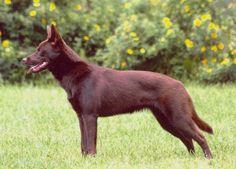 Australian Kelpie nolostdogs.org