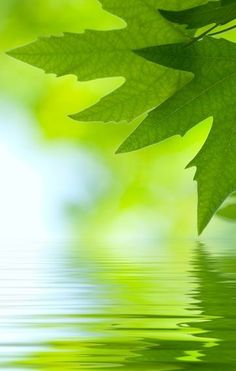 Green leaves reflected on still water
